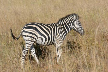 equid: sunny savanna scenery with zebra in Botswana, Africa