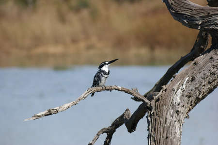 alcedinidae: bird named pied kingfisher on a bough in Botswana Stock Photo