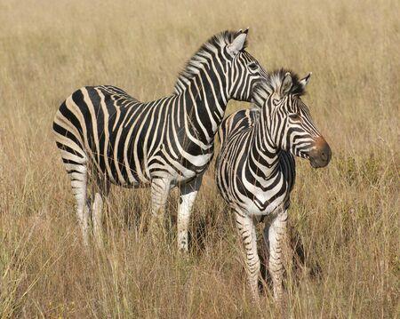 zebra: un paisaje de sabana soleado con cebras en Botswana, África Foto de archivo