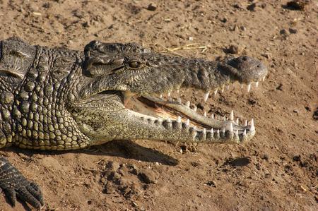 riparian: sunny riparian scenery with crocodile in Botswana, Africa