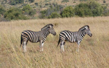 equid: sunny savanna scenery with zebras in Botswana, Africa Stock Photo