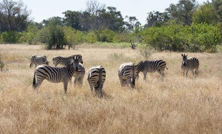 riparian: savanna scenery showing a flock of zebras in Botswana, Africa