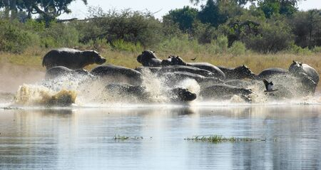 riparian: flock of Hioops running into a river at the Moremi Game Reserve in Botswana, Africa