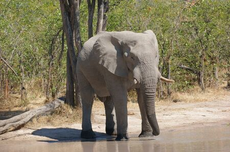 the game reserve: Elephant at a water hole in the Moremi Game Reserve in Botswana, Africa Stock Photo