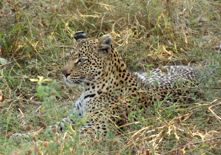 the game reserve: a perfectly camouflaged resting leopard at the Moremi Game Reserve in Botswana, Africa