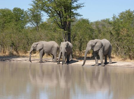 the game reserve: group of elephants at a water hole in the Moremi Game Reserve in Botswana, Africa