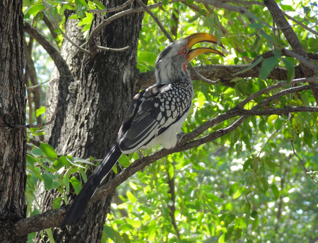 bough: Northern red-billed hornbill on a bough in Botswana, Africa Stock Photo