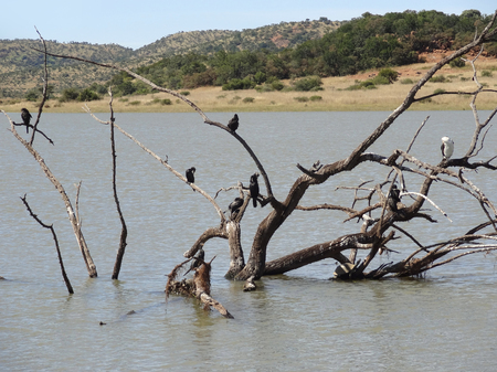 birds scenery: waterside scenery with some birds on a bough at Pilanesberg Game Reserve in South Africa