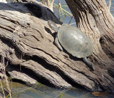 riparian: sunny riparian scenery including a turtle on a tree trunk in Southafrica