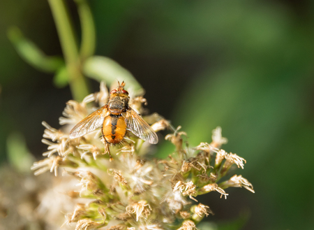 syrphid fly: Hoverfly on flower head in green blurry back