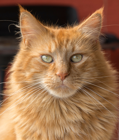 maine cat: portrait of a red brown Maine Coon cat Stock Photo