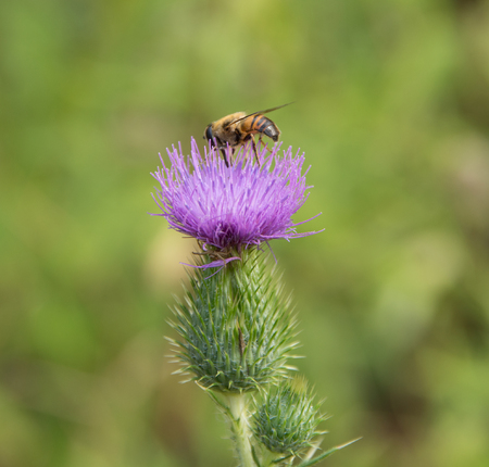 syrphid fly: Hoverfly on violet thistle flower in green blurry back Stock Photo