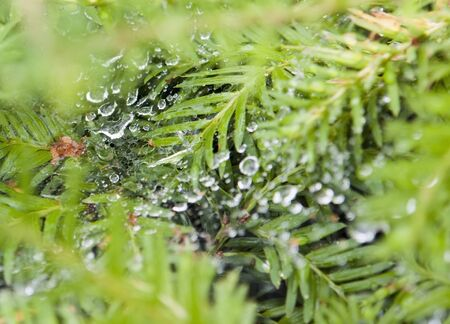 moistness: detail shot showing a wet cobweb in green leavy ambiance Stock Photo