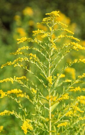 ambiance: yellow Canadian goldenrod flower in natural ambiance Stock Photo