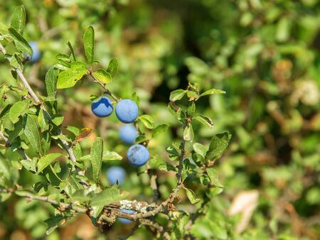 ambiance: sunny detail of a blackthorn plant with blue berries in natural ambiance