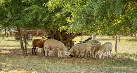 ambiance: some sheep in the shade around a tree in rural ambiance
