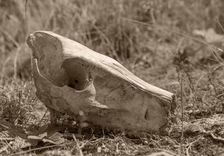 jabali: cálida cuadro entonado de una calavera cerdo salvaje en terreno cubierto de hierba