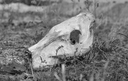 jabali: imagen en blanco y negro entonada de una calavera cerdo salvaje en terreno cubierto de hierba