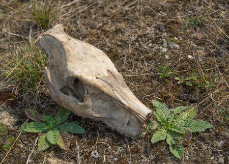 jabali: imagen de una calavera cerdo salvaje en terreno cubierto de hierba Foto de archivo
