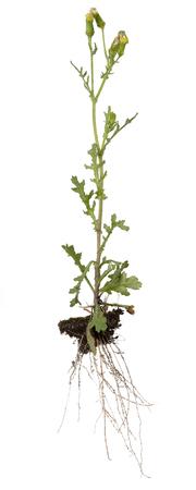 raíz de planta: una planta de hierba cana completa en la parte posterior del blanco Foto de archivo