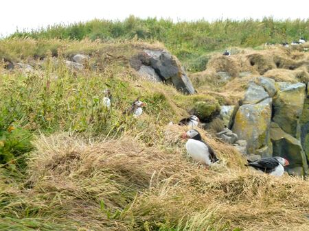 puffins: some Atlantic puffins seen in Iceland Stock Photo