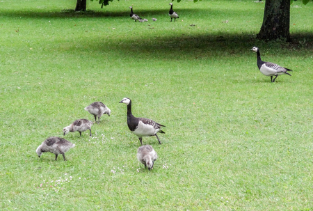 ambiance: a group of barnacle geese in green grassy ambiance Stock Photo
