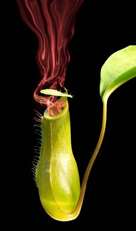 pitfall: green can of a pitcher plant with red smoke Stock Photo