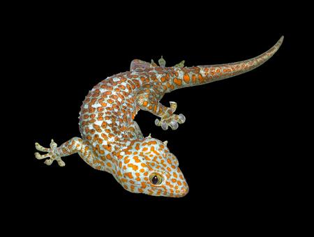 tokay gecko: a Tokay gecko in black Stock Photo