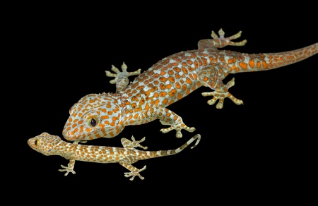 tokay gecko: young and adult Tokay gecko in black