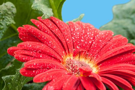 moistness: detail of a wet red gerbera flower in green back