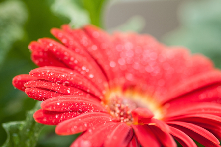 green back: detail of a wet red gerbera flower in green back