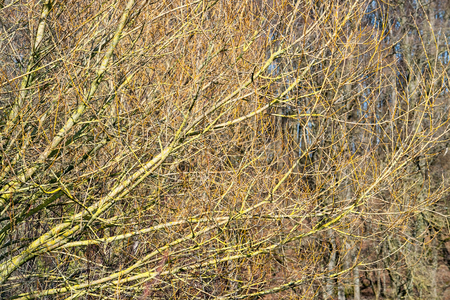 entanglement: natural full frame background showing lots of twigs at early spring time Stock Photo