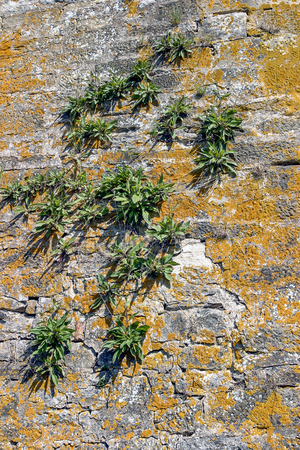 overgrown: sunny illuminated old stone wall overgrown with plants and lichen Stock Photo