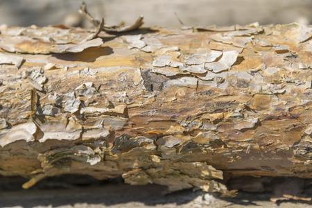 bough: sunny illuminated bough detail with peeling bark