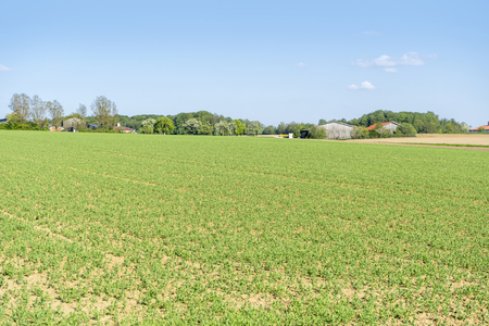 bowery: sunny agricultural scenery at a field with rows of small plants in Hohenlohe, a district in Southern Germany