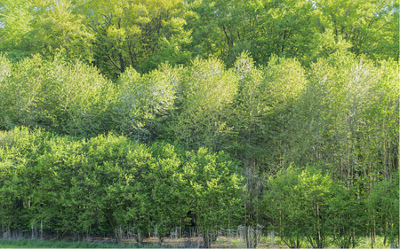 ambiance: fresh green treetops at springtime in sunny ambiance