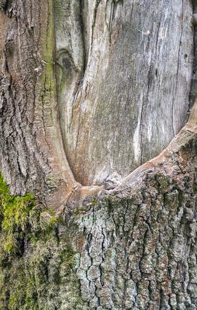 bark peeling from tree: full frame tree trunk detail