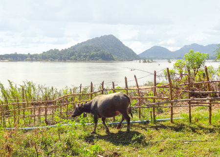 mekong river: agricultural scenery with cow at Mekong river in Laos