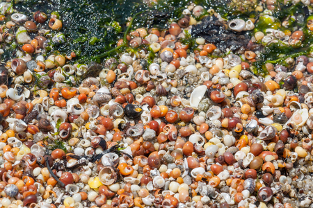 gastropod: full frame background showing lots of colorful small sea snail shells seen in Brittany