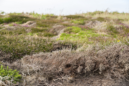 abloom: colorful heath vegetation seen around Pointe de Pen-Hir in Brittany, France Stock Photo