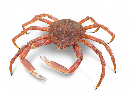 spinous: a european spider crab in white back with shadow Stock Photo