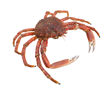 spinous: a european spider crab in white back