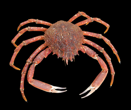 spinous: a european spider crab in black back