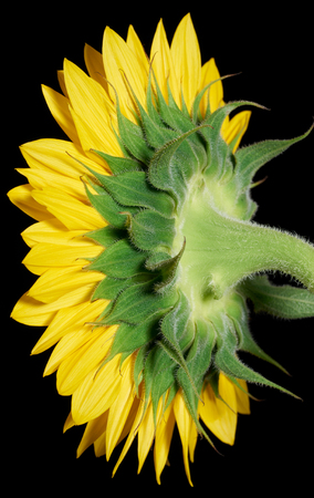 abloom: a sunflower blossom seen from behind in black back