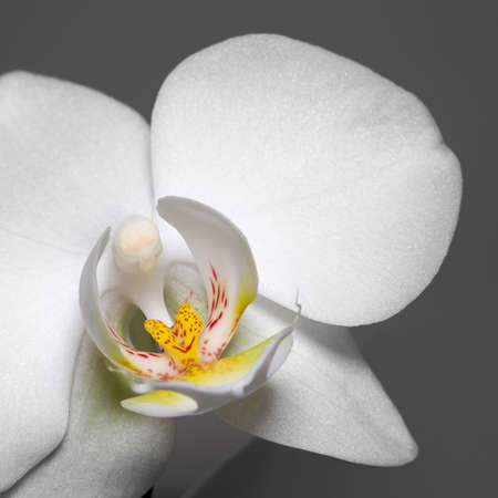 detail shot of a white orchid flower in dark back