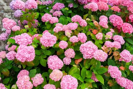 hydrangea macrophylla: full frame colorful hortensia detail seen in Brittany, France Stock Photo