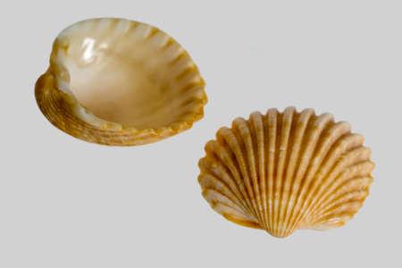 bibelot: macro shot of two sea shells in grey back
