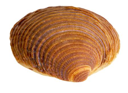 bibelot: macro shot of a red sea shell in white back