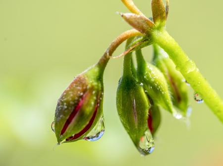 moistness: some wet flower buds in light green back Stock Photo