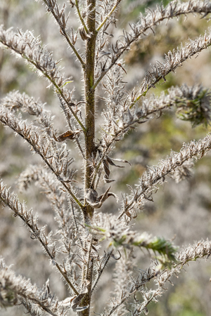 sere: detail shot of a fluffy dry plant in natural ambiance